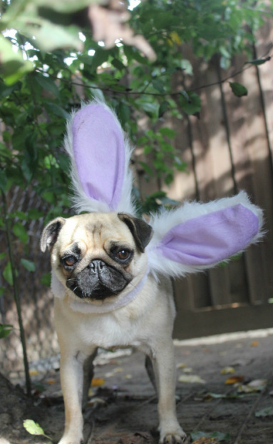 pug easter bunny cute pup dog